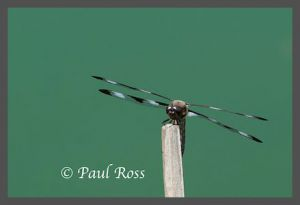Michigan Dragonfly.jpg